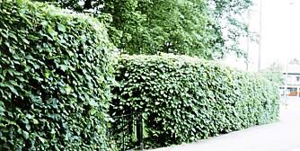TETT OG HØY: Det er viktig å tenke både avstand til veien og plassen i hagen før du bestemmer deg for den typen du vil ha.