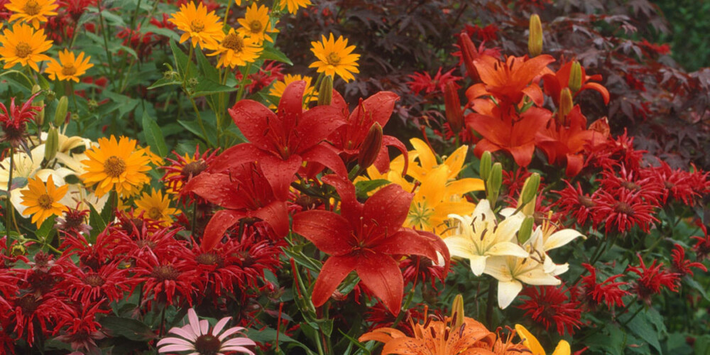 HØSTRABATT: Sikre blomstring om høsten med røde og hvite liljer sammen med stauder.