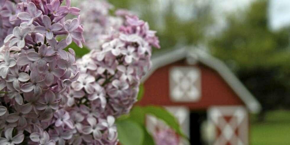 LUKTER GODT: Syriner er flott i hagen og lukter veldig friskt og godt ...