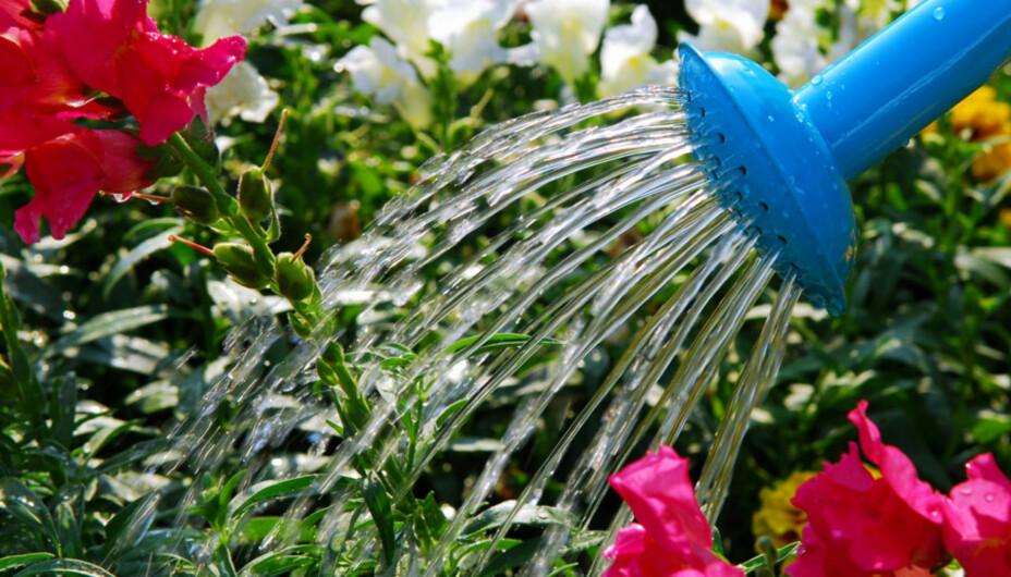 SLIK VANNER DU BLOMSTENE OG PLENEN: Unngå å vanne rett på kronbladene til sommerblomstene.