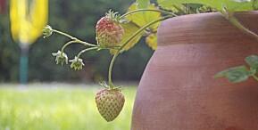 DYRK I KRUKKE: Du kan dyrke jordbær i krukke også.