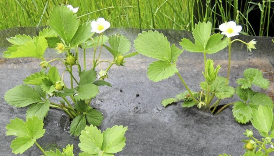 PLANTE JORDBÆR: Med fiberduk kommer ikke ugresset og jorda holder seg varmere.