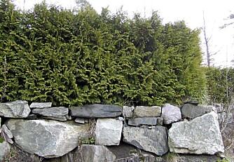 TUJA: Dette er kanskje folkehekken, men hagen tar neppe skade av at det velges en annen hekk.