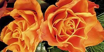 VAKKER OG VÅT: Rosebusken skal graves dypt ned og vannes med omhu.