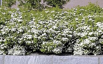 """FRI HEKKING: Bjørkebladspirea """"""""Thor"""""""" (Spirea Betufolia) vokser tett og blomstrer i juni og juli. Foto: Opplysningskontoret for blomster og planter"""