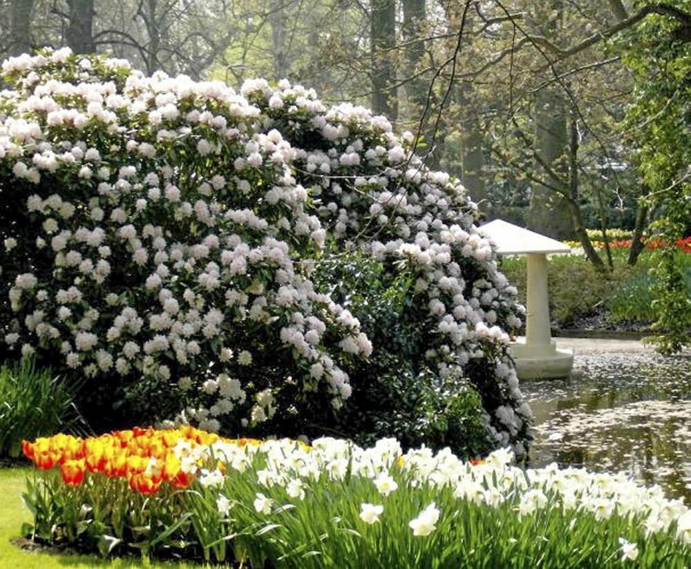 RÅSTOR. En Rhododendron bruker lang tid på å bli så stor, men dersom du ikke har det travelt er den verdt å vente på. FOTO: Opplysningskontoret for blomster og planter