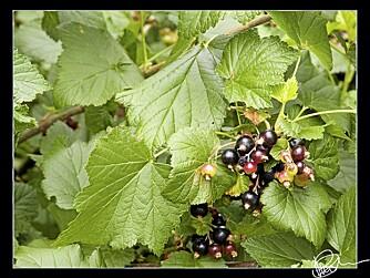 BÆRE LÆKKERT. Bærbusker, som solbær, rips og stikkelsbær er fine hekkeplanter. FOTO: PixlPerpetrator via Flikr.com http://bit.ly/8Z8hH6