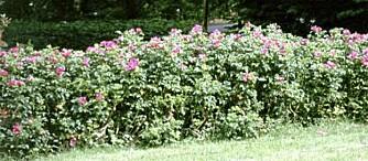 TID FOR TE? Rynkerosene får fine nypefrukter når blomstringen er over. Ingenting i veien for at en hekk bærer frukter. Foto: Opplysningskontoret for blomster og planter