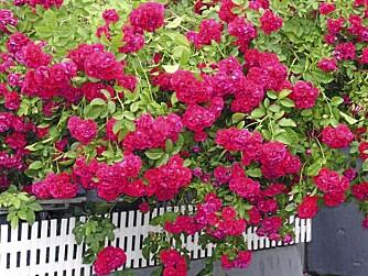 I NEVER PROMISED: En buskrose er ikke bare hyggelig, den skjermer også mor innsyn, lyd og vind. FOTO: Opplysningskontoret for blomster og planter