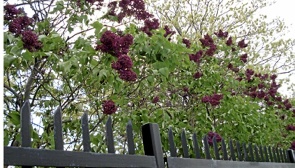 LILLADILLA: Syriner er både tette, vakre og velduftende. Perfekte for frie hekker. FOTO: Picturesofbeautifulflowers.com