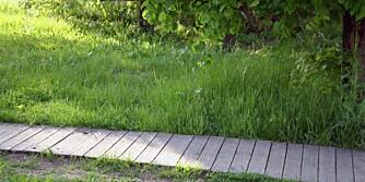 Plenen behøver sol, vann og næring for å vokse seg sunn og tett.