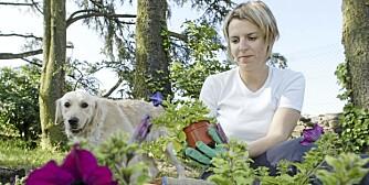 FINPUSS I SOMMERHAVEN: Late sommeruker kan være en fin tid å gi hagen en ekstra finpuss.