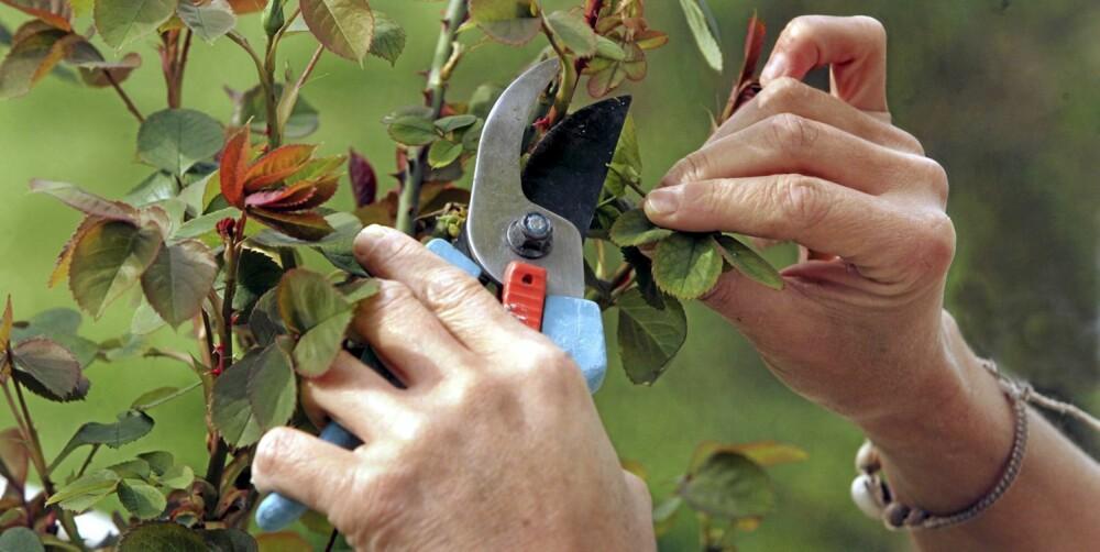 BESKJÆRING: Riktig beskjæring  gir plantene et lengre og bedre liv