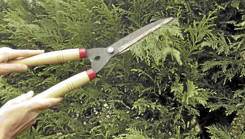 KAN BESKJÆRES NÅ: Tujaen kan med hell trimmes om høsten.