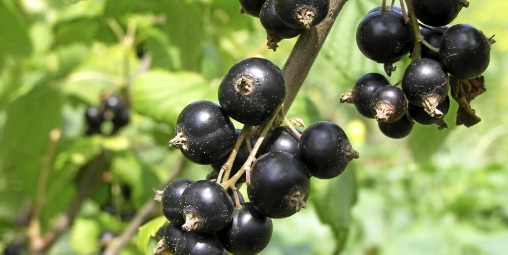 I HAGEN: Bærbusker som kjøpes som barrot, altså ikke dyrket i potter, kan bare plantes om våren og høsten.