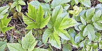 SKVALLERKÅL TRENGER KONKURRANSE: Du må fjerne planten og røttene, og for å unngå oppblomstring kan du plante stauder som konkurrenter.
