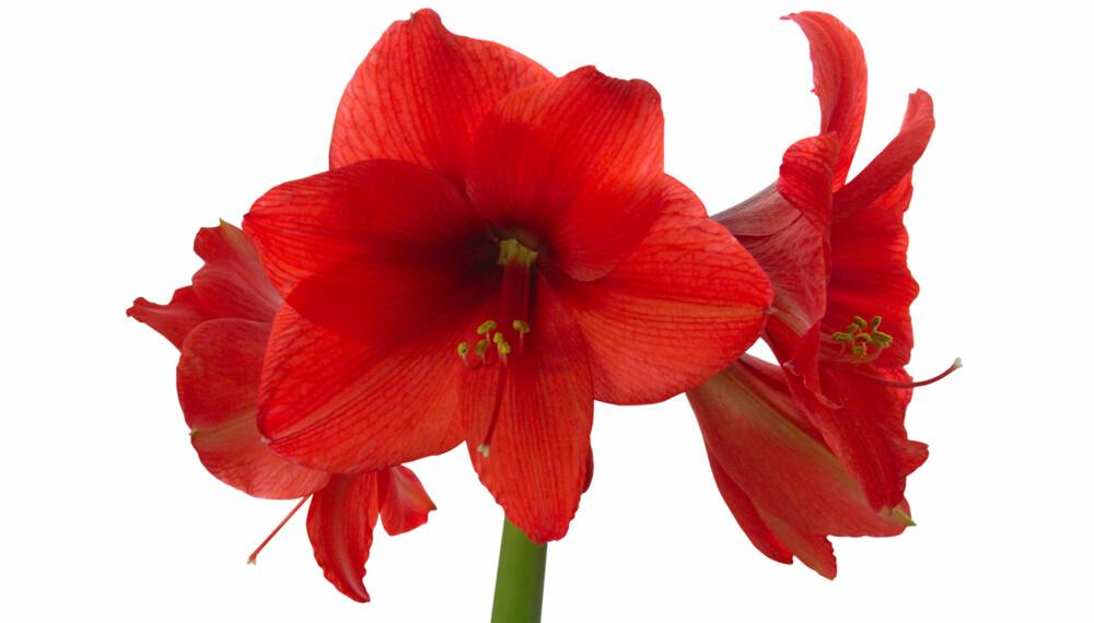 MAJESTETISK AMARYLLIS: Amaryllis er en flott plante som pynter fint opp i jula.