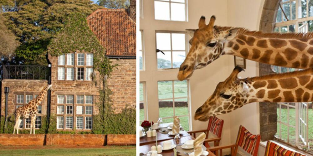 VILT OG VAKKERT: På Giraffe Manor kan du spise frokost med sjiraffer.