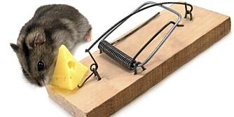 LIGGER TYNT AN: Musa elsker både ost, pølse og peanøttsmør. Lokker du den med fristende mat har du den snart i fella.