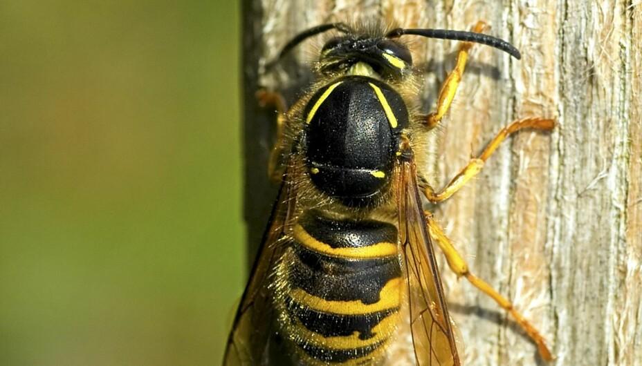 AGGRESSIV: I Norge er det 13 arter stikkeveps, inkludert geithams. Vanligste jordveps (Vespula vulgaris) lager bol av morkent tre. Vespula vulgaris er dessverre de som oftest bygger nær boliger, er mest aggressiv og har sterkest gift.