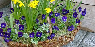 BLOMSTER OG FROST. Mange sommerblomster er sårbare mot nattefrost, men stemorsblomsten klarer seg. Generelt kan man dekke til bedene om natten dersom det er fare for frost.