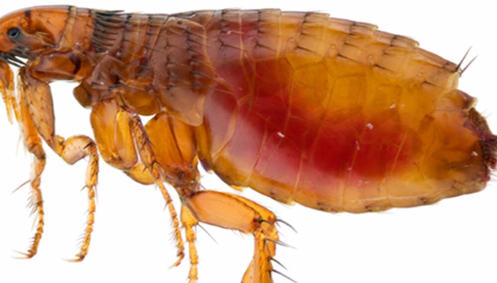 BLODFYLT LOPPE: Denne har akkurat spist seg mett. De små hårene på ryggen gjør at den lettere setter seg fast i tekstiler.