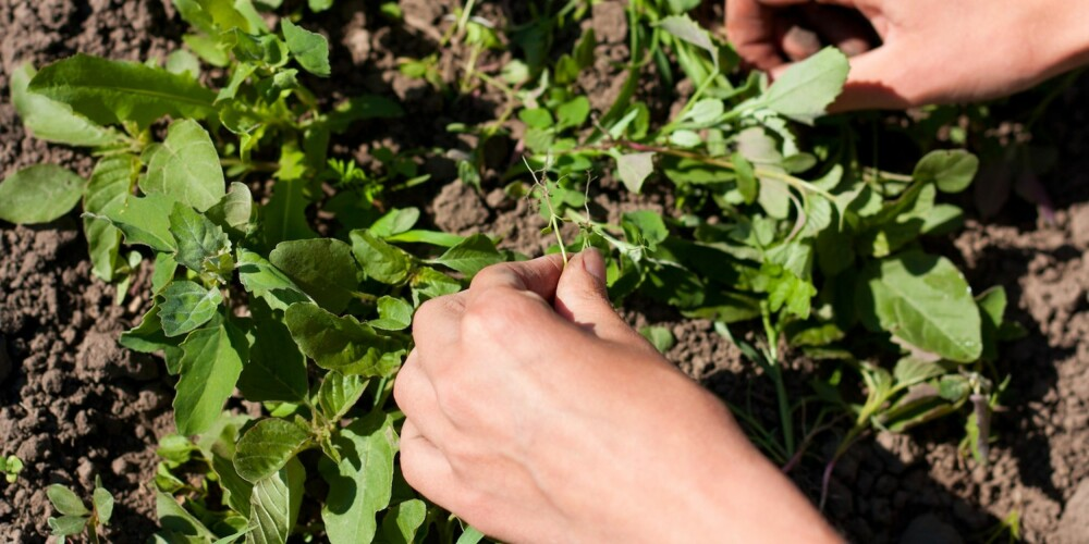 VEKK MED UGRESSET: Fjern alt ugresset i skråningen, før du setter i gang med selve plantingen.