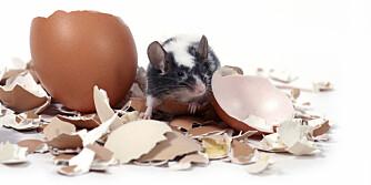 PROTEIN: Mus som spiser proteinrik mat blir fortere mett.