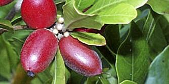 BAKVENDTLAND: Mirakelbæret vokser på busker i Vest-Afrika, men kunne like gjerne kommet fra bakvendtland - når de gjør at surt smaker søtt.