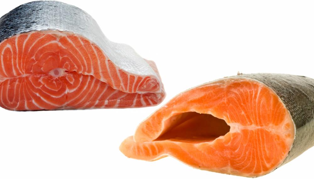 FET FISK: Den mest synlige forskjellen på laks og ørret er måten de lagrer fettet på. Laksen lagrer fettet i muskulaturen, mens ørreten lagrer det i buken. Av den grunn vil laksekjøttet jevnt over oppleves som fetere enn ørretkjøttet.