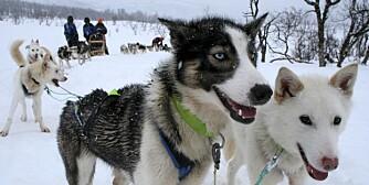 HUNDEKJØRING: I Tromsø er det tre aktører som tilbyr hundekjøring. Vi var med Tromsø Villmarkssenter ut på en fantastisk artig tur.