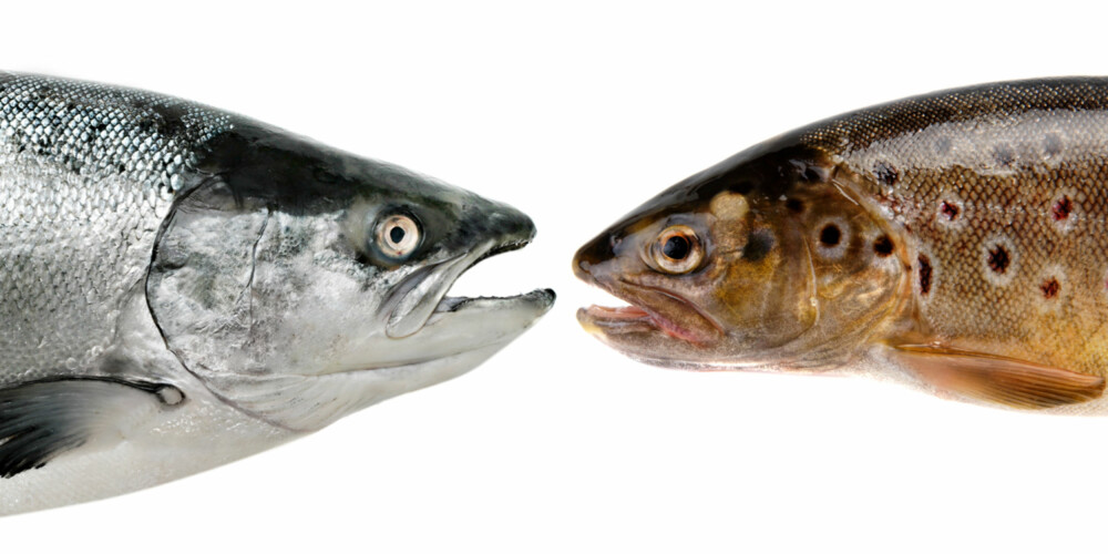 MYTE: Det er en myte at oppdrettsfisk får dårligere fôr enn havfisk. Både havfisk og villfisk blir hva den spiser, og oppdrettsfisk får pellets laget av protein, fett, karbohydrater, vitaminer, mineraler og pigment.