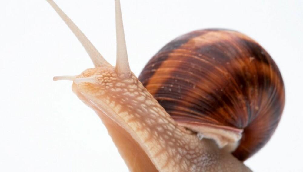 SNEGLEKREM: Slimet fra chilenske snegler skal dempe hudirritasjon og rense uren hud.