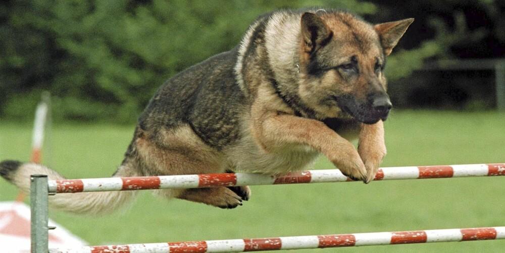 TENK DEG OM: Dersom du ikke har et høyt aktivitetsnivå, bør du heller ikke investere i en hund som har nettopp det. Resultatet er som oftest at hunden omplasseres i stedet for at du blir mer aktiv. Finn en rase som passer akkurat deg og det aktivitetsnivået som er realistisk!