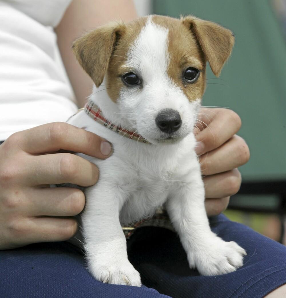 LITEN OG SNILL? Joda, de fleste hunder er snille. Men noen små hunder har også et stort behov for mosjon og mental stimulans, slik som for eksempel Jack Russel Terrier (bildet).