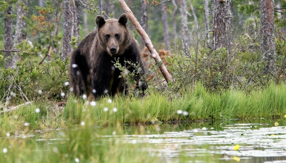MØTE FOR LIVET: Å få se en vill, norsk bjørn ute i naturen er en opplevelse for livet. Denne er fotografert i Finland.