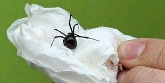 GIFTIG: En edderkopp av typen sort enke er funnet i Bergen.