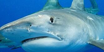 TIGERHAI: Hadde du turt å få denne tigerhaien på kroken? Vi kastet snøret ut på det indiske hav i Kenya.