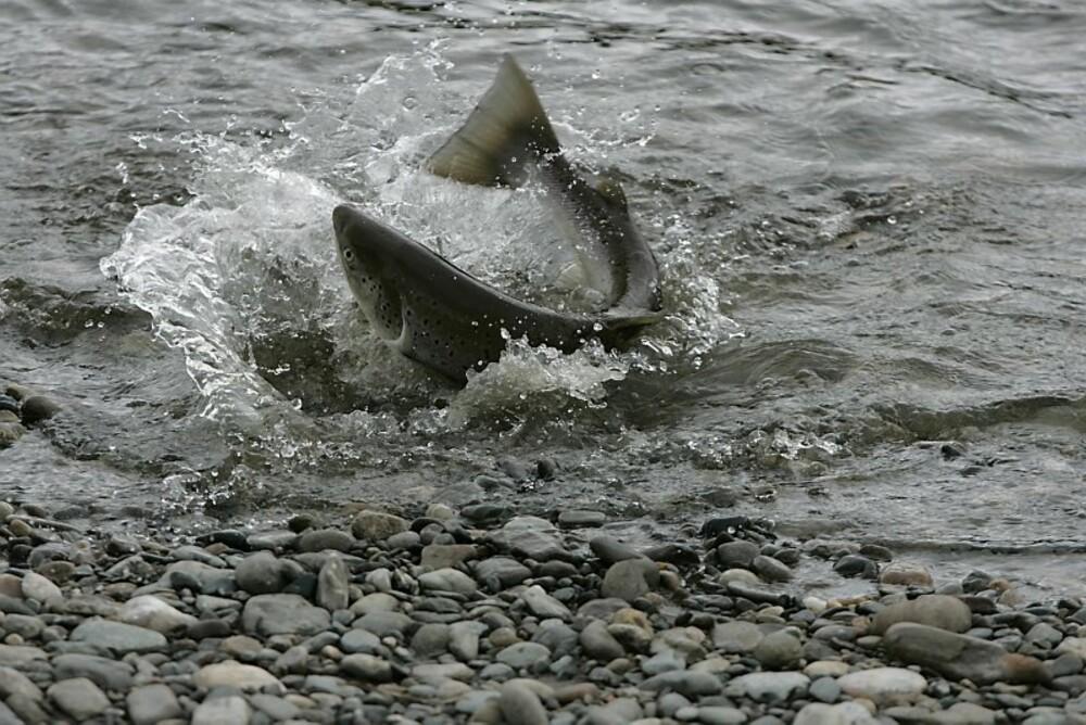 ALTALAKS: Selve drømmen for mang en laksefisker.