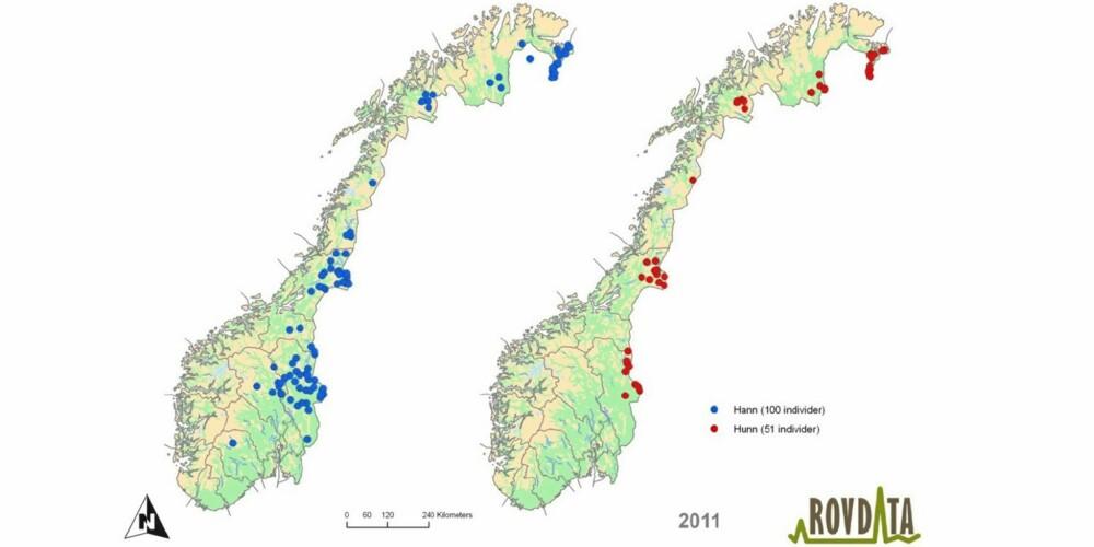 DNA-KART: Geografisk fordeling av 151 bjørn i Norge 2011 påvist med DNA-analyse. Figuren viser et punkt for hvert individ, og for individer som er registrert med mer enn én prøve vises et punkt som er et geografisk midtpunkt. Kart til venstre viser oversikt over 100 hannbjørn (blå), og kart til høyre viser oversikt over 51 hunnbjørn (rød).  Kartet forteller den som vil søke etter bjørn i Norge at det bør satses på områdene Pasvik, langs Anarjohka mot finskegrensa, Neiden, Indre Bardu, Lierne og traktene langs svenskegrensen fra Trysil og Østerdalen.
