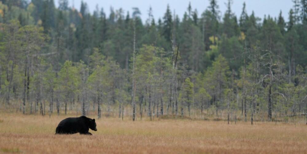 DOBLET BJØRNESTAMME: Selv om bjørnestammen i Norge har doblet seg mange steder de siste ti årene, er det svært sjelden at noen kommer nært innpå dyret. Dette bildet er tatt i Finland.