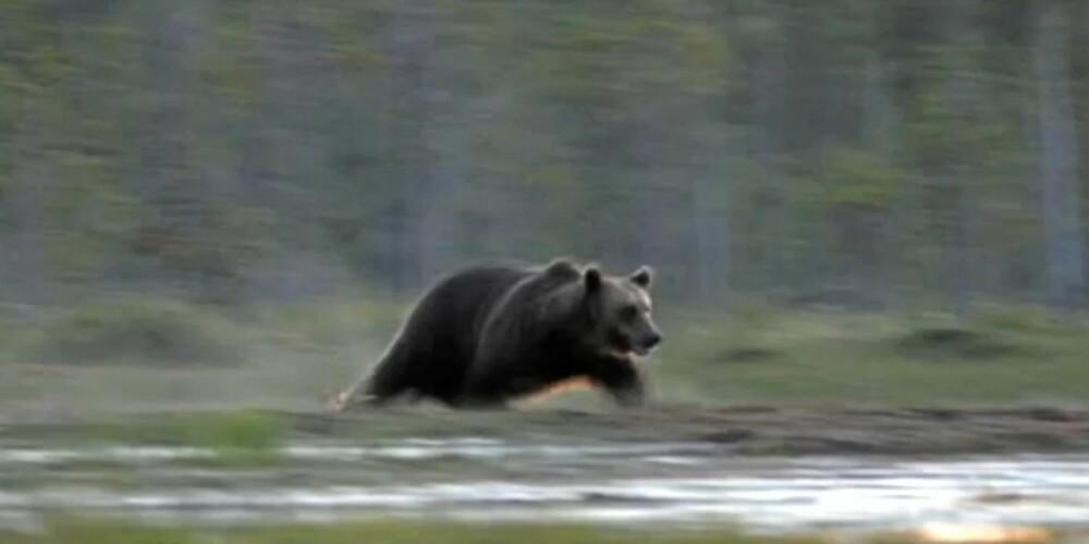 NÆRKONTAKT: Villmarksliv-reporter Dag Kjelsaas har hatt flere møter med bjørn, og vet at bjørnen er mer redd for mennesker enn mennesker er for den. Likevel er det lurt å følge noen sikkerhetsregler i områder med mye bjørn.