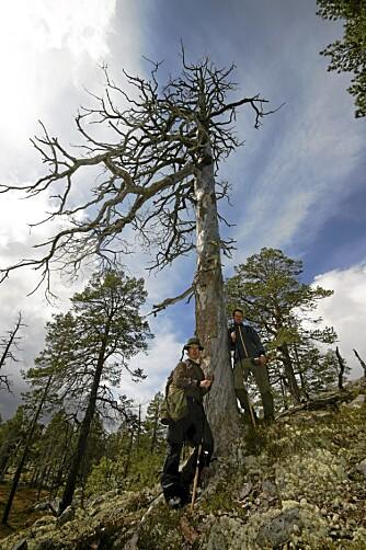 """URSKOG: Skogen er fredet og dermed uberørt i Femundsmarka. Ole og Jørgen blir """"""""smågutter"""""""" ved siden av denne tørrfurua."""