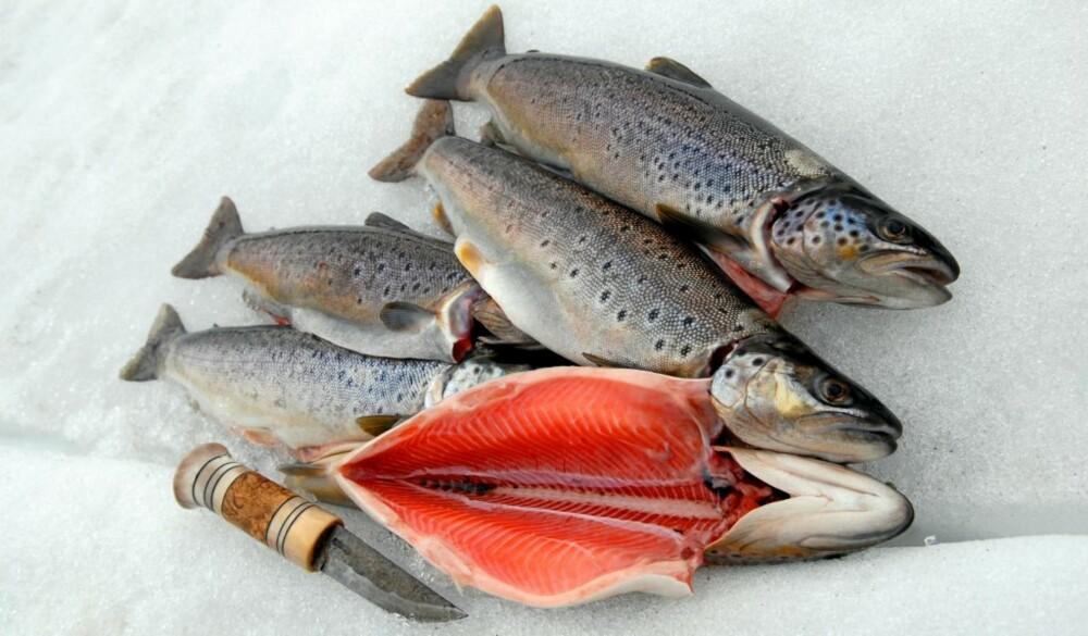 FEM UTVALGTE: Ørreten i Prestesteinsvatnet holder gjennomgående meget høy kvalitet. Kniven er 17,5 cm lang.