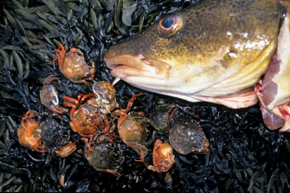 KRABBE: Denne taretorsken hadde proppet seg helt full av strandkrabber. Krabber er et glimrende agn til bl.a. torsk og havabbor, men er lite brukt i Norge.