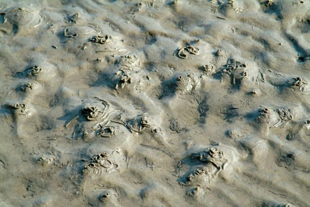 VANLIG I FJÆRA: Fjæremarken avslører seg selv med sine karakteristiske avføringshauger. Graver du 30 til 40 cm ned i sanda, finner du de pølseformede markene.