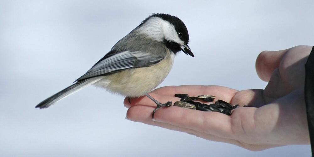 SALMONELLA: De eneste dyrene i Norge som kan smitte deg med salmonella er småfugl og pinnsvin.