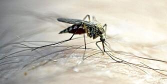 MYGG: Den er liten, men kan gjøre alvorlig skade. Bruk beskyttelse mot mygg når du reiser i områder med malaria og denguefeber.