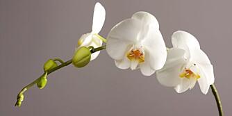 ALLERGIVENNLIG: Orkidé.