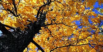 GAMMEL REMEDIE: I gamle dager lagde man sårsalve til brannsår av bark fra alm.